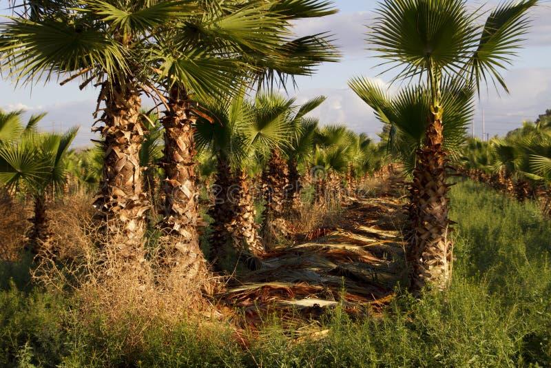 棕榈树农场 免版税库存照片