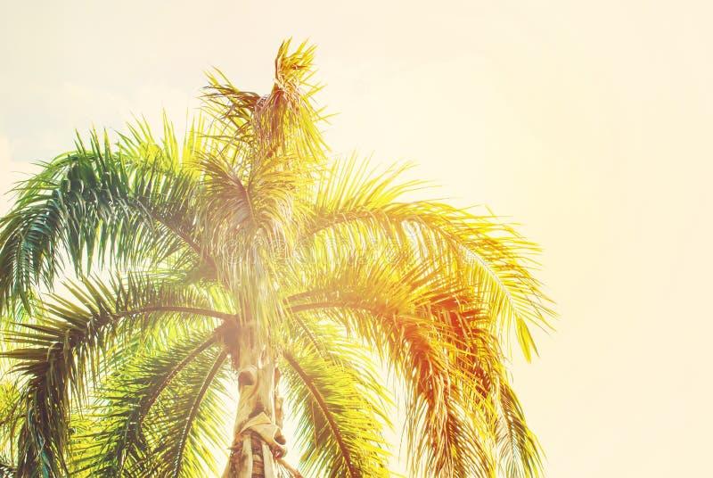 棕榈树叶子在太阳光的 自然本底图片