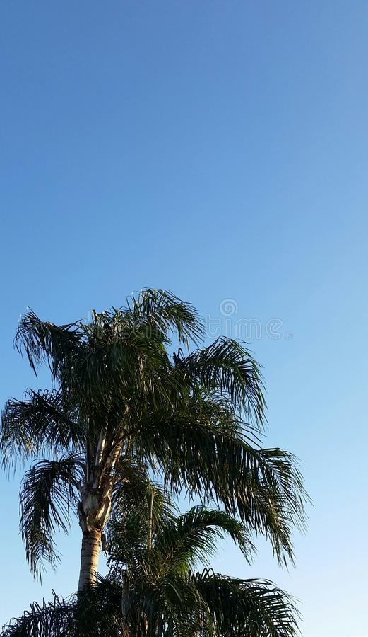 棕榈树和蓝天 免版税库存照片