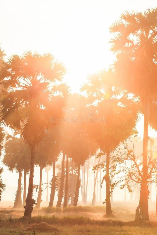 棕榈树和领域意想不到的风景在早晨光,金黄日出在亚洲扇叶树头榈棕榈和稻附近发光下来 库存图片