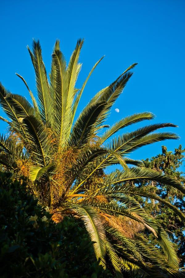 棕榈树在与满月的金黄小时在背景, Sithonia中 图库摄影