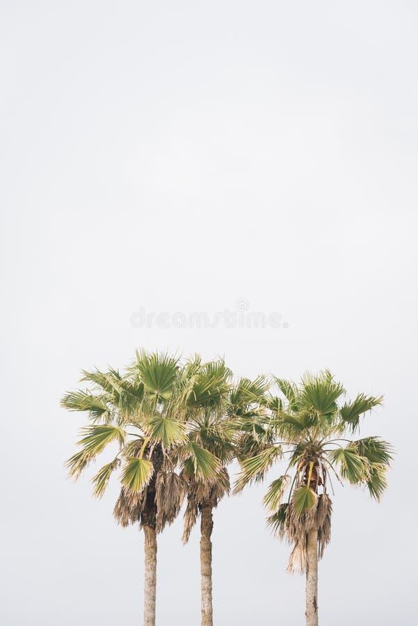 棕榈树在加尔维斯顿,得克萨斯 免版税库存照片