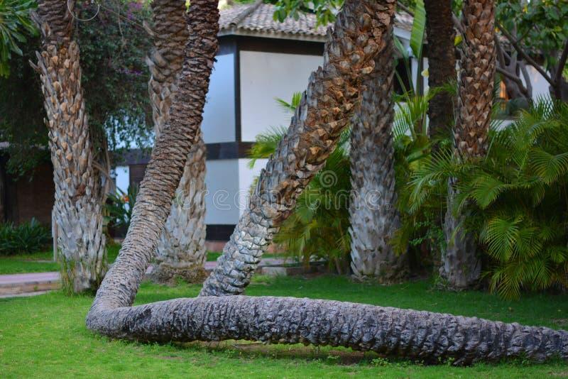 棕榈树在埃尔切在阿利坎特,省的elx在西班牙 免版税库存照片