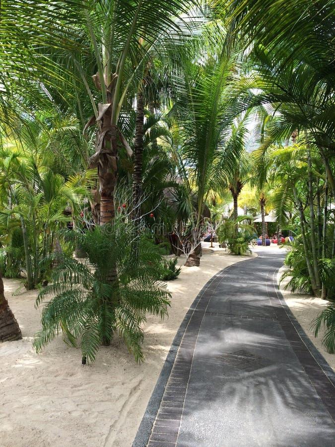 棕榈树在毛里求斯 库存图片