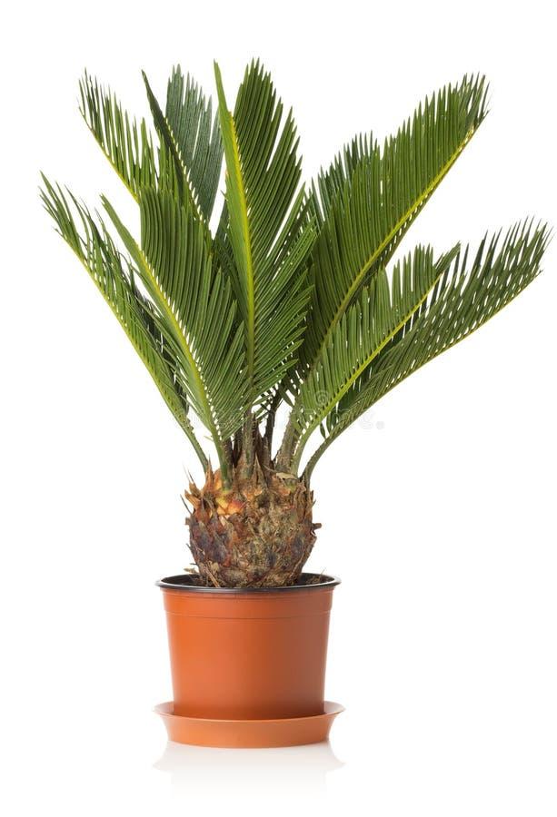 棕榈树在白色背景隔绝的苏铁属revoluta 免版税库存图片