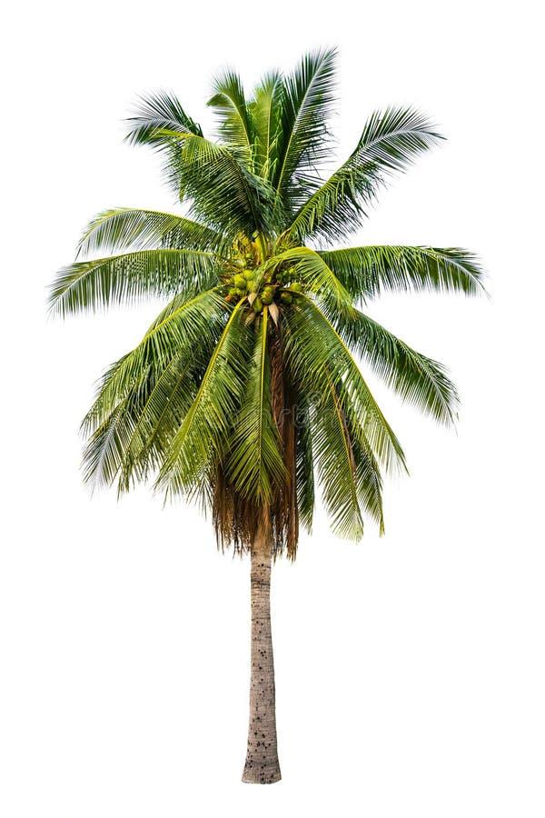 棕榈树在白色被隔绝的背景中 图库摄影
