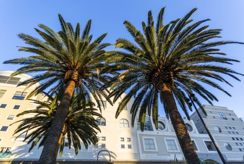 棕榈树在盛大希望公园,洛杉矶市,加利福尼亚,美国街市财政区  免版税库存照片