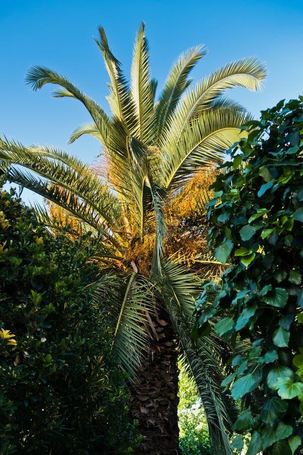 棕榈树在金黄小时在Sithonia 免版税库存照片
