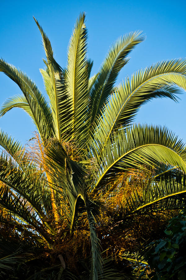 棕榈树在金黄小时在Sithonia 库存照片