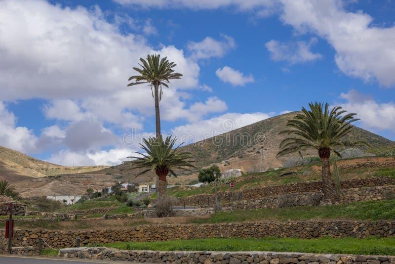 棕榈树在贝坦库里亚费埃特文图拉岛加那利群岛拉斯帕尔马斯 免版税库存图片