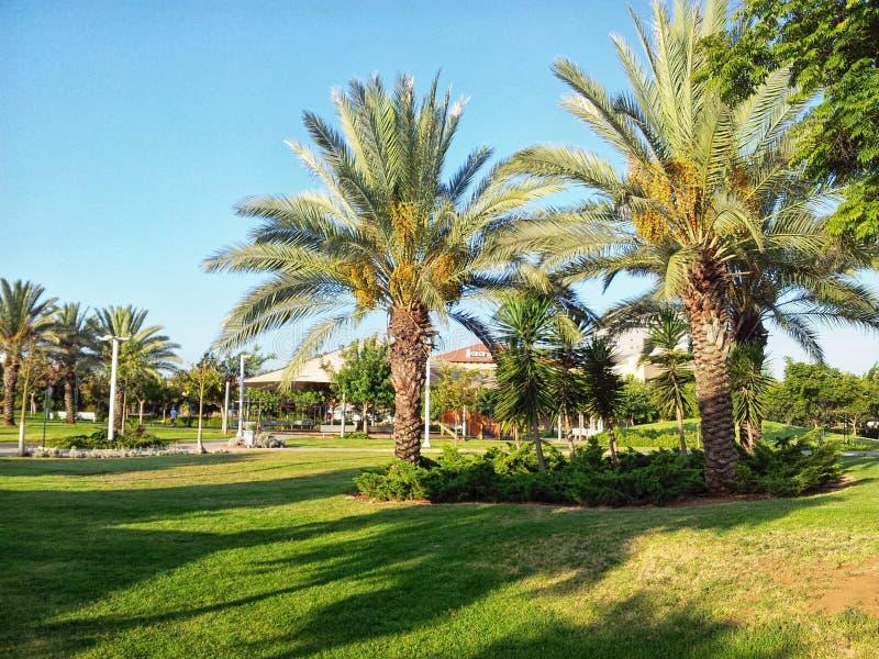 棕榈树在以色列公园 库存照片