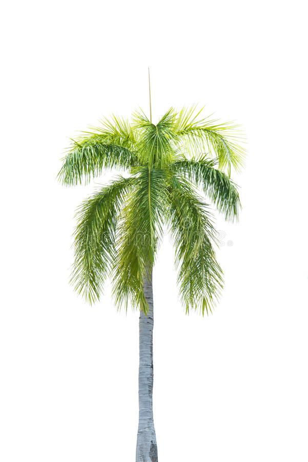 棕榈树孤立 库存图片