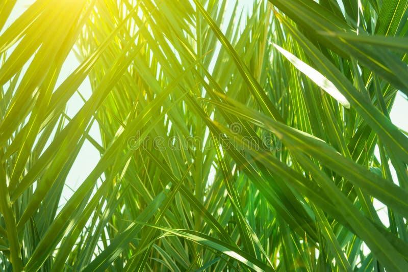 棕榈树小灌木林与长期摇晃形成一个自然样式的尖刻的叶子的 金黄阳光图片