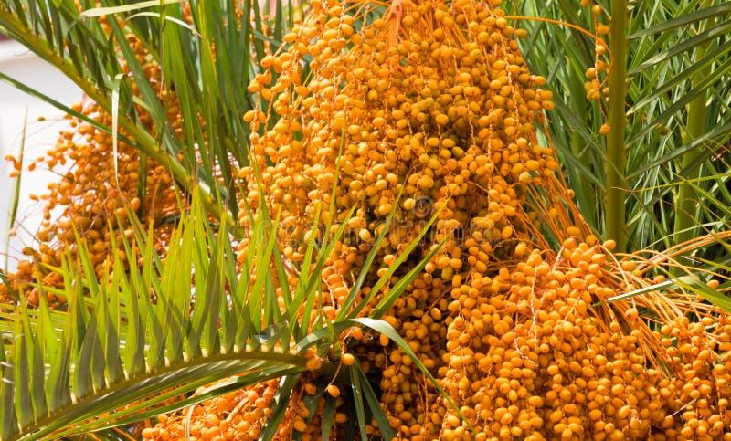 棕榈树日期 库存照片