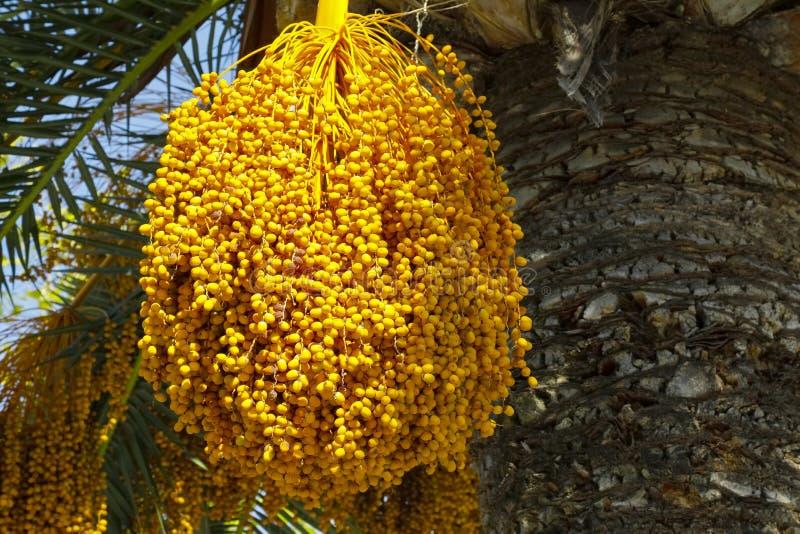 棕榈树果子 库存照片
