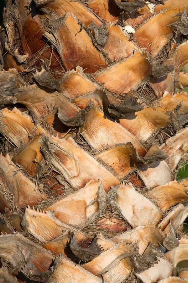 棕榈树树干背景 免版税库存照片