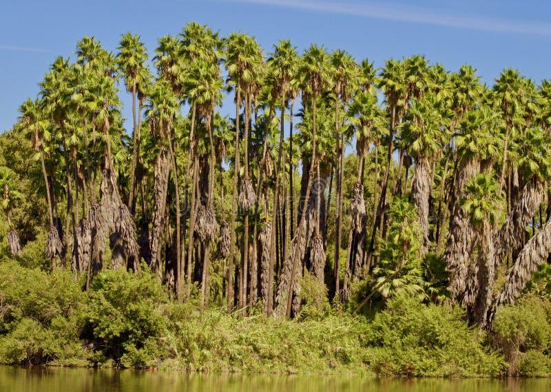 棕榈树森林 免版税库存图片