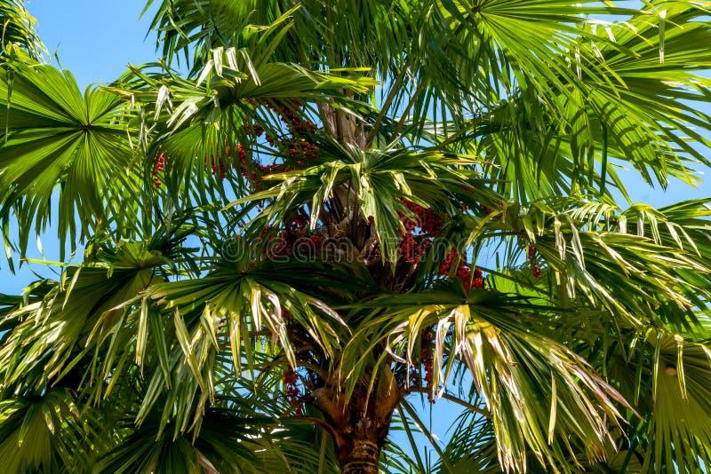 棕榈树植物在蓝天的树头梭或扇叶树头榈棕榈 免版税图库摄影