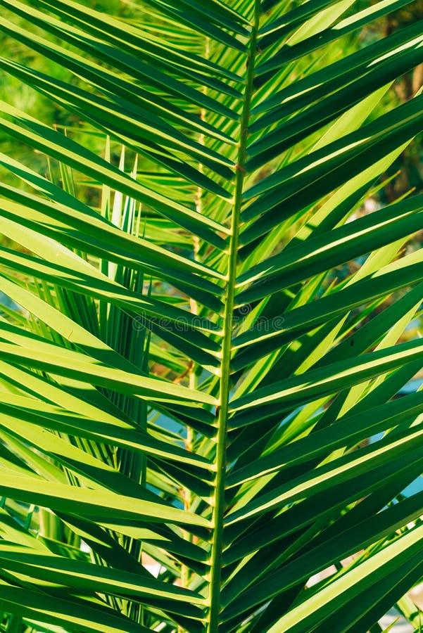 棕榈树特写镜头的分支 日期树 库存图片