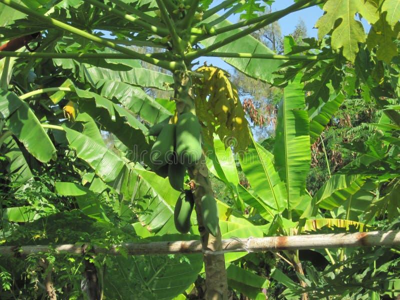 棕榈树用果子在泰国/Chai Nat 图库摄影