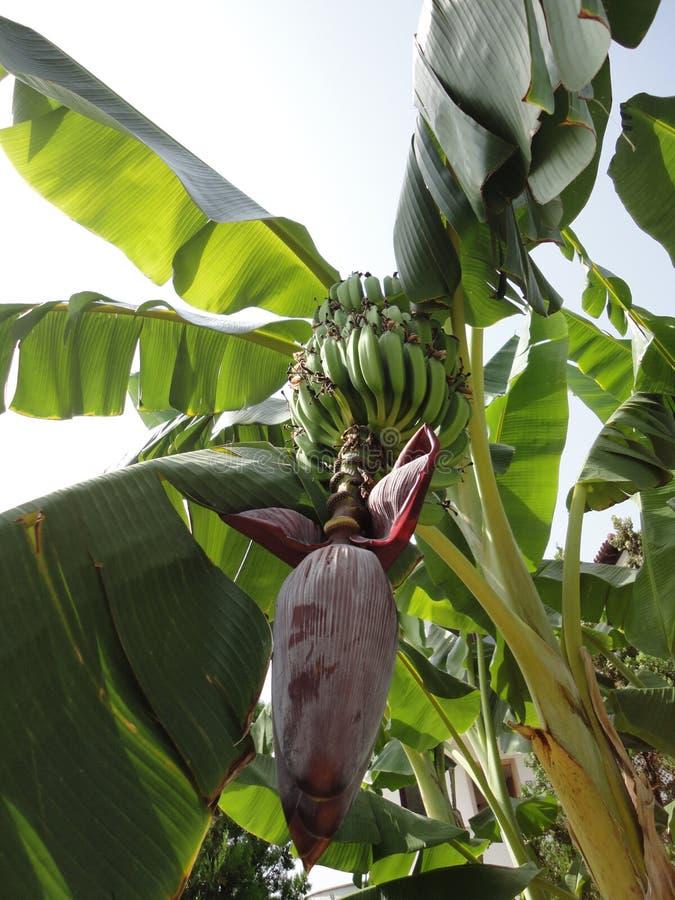 棕榈树用香蕉 图库摄影