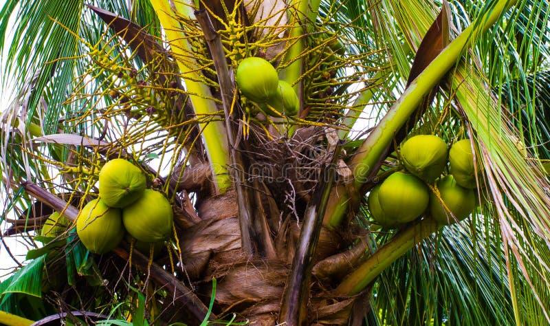 棕榈树用绿色椰子 免版税库存图片
