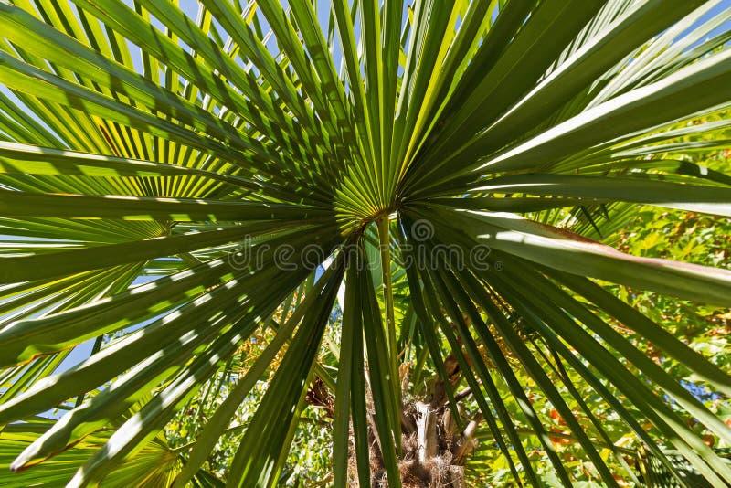 棕榈树的叶子, chusan棕榈 库存照片图片