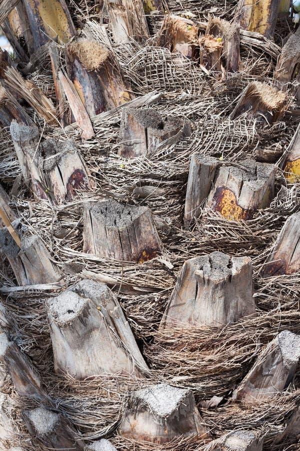 棕榈树的纹理外皮 免版税库存照片