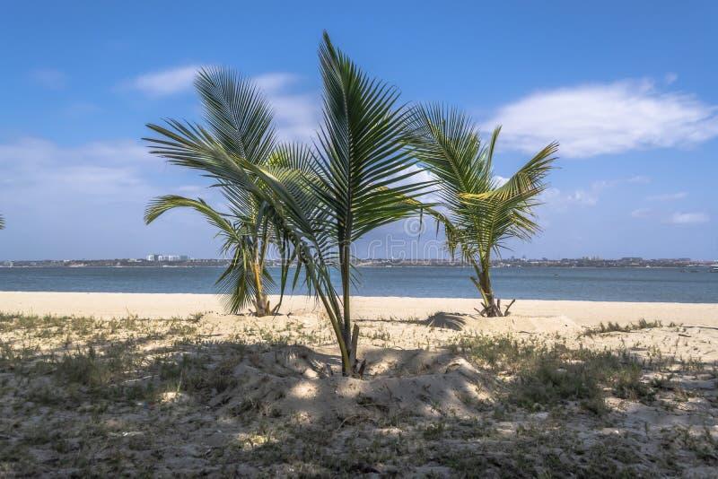 棕榈树看法在海滩的,在Mussulo海岛上,罗安达,安哥拉 库存照片