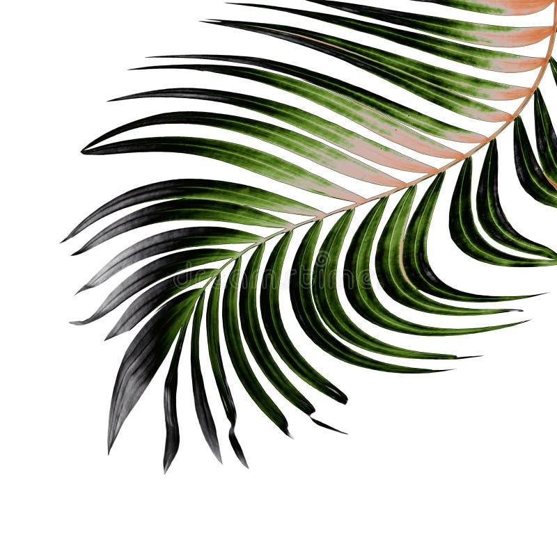 棕榈树绿色叶子在白色的 向量例证