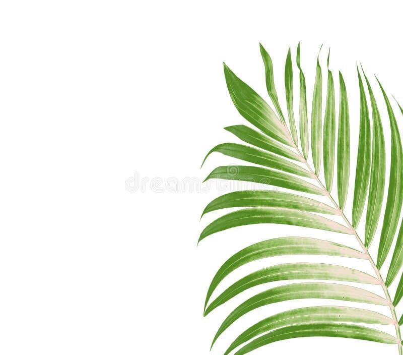 棕榈树绿色叶子在白色背景的 向量例证