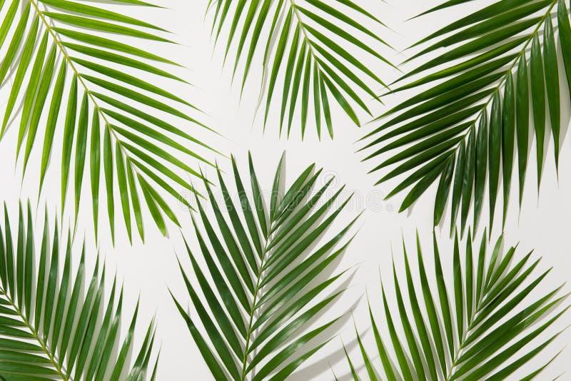 棕榈树绿色叶子在白色背景的图片