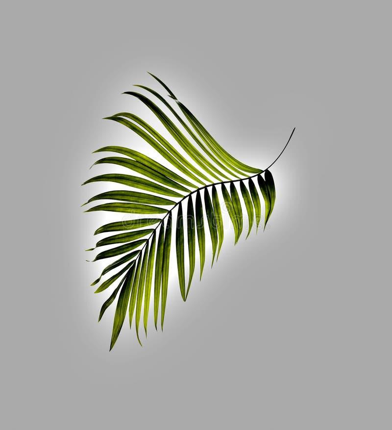 棕榈树绿色叶子  皇族释放例证