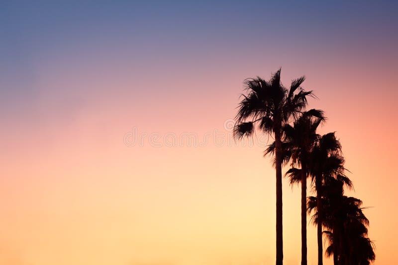 棕榈树行在日落的在马略卡,巴利阿里群岛,西班牙 免版税库存照片