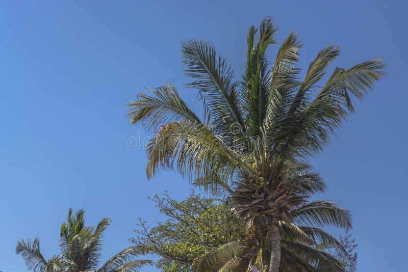棕榈树详述的看法在Mussulo,罗安达,安哥拉海岛上的  库存照片