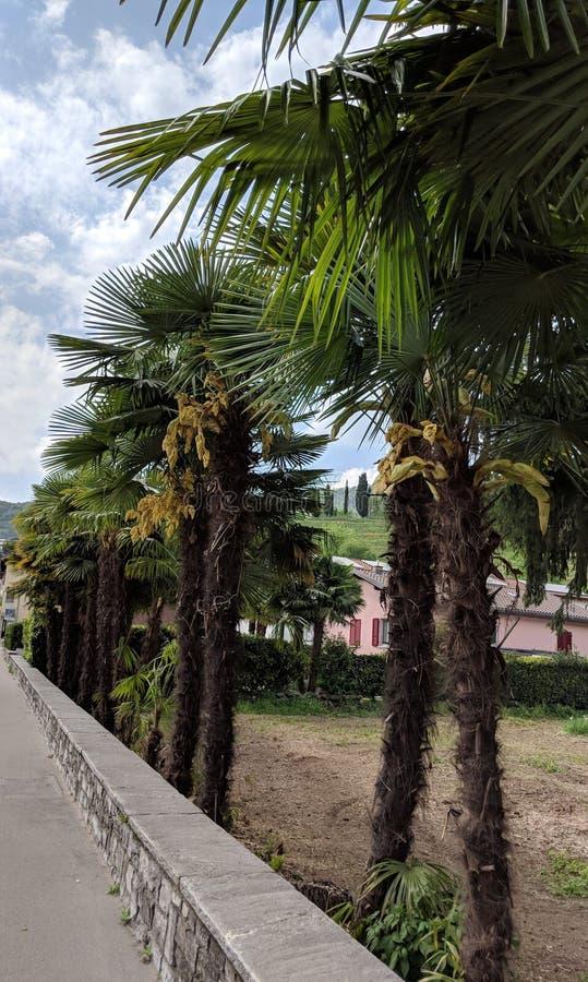 棕榈树连续 免版税库存图片