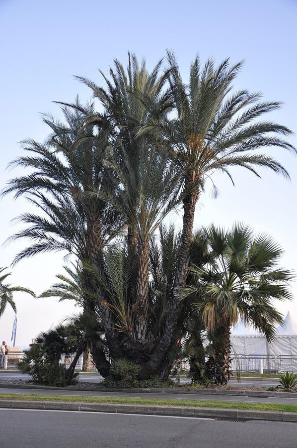 棕榈树通过从盎格鲁街在尼斯的Metropola 免版税库存照片