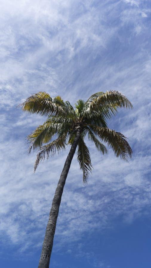 棕榈树, Palmtree棕榈滩,佛罗里达 免版税库存照片