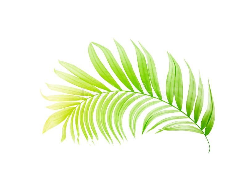 棕榈树绿色叶子在白色背景的 库存例证