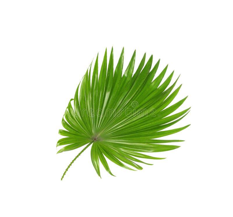 棕榈树绿色叶子  图库摄影