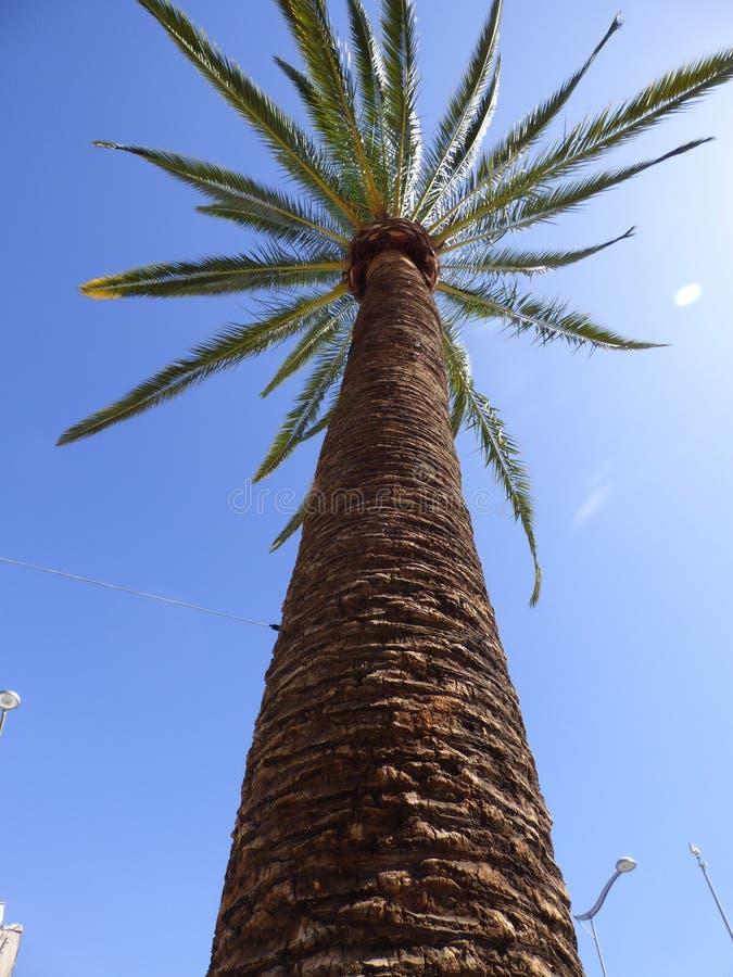棕榈树Ovalle,智利 免版税库存照片