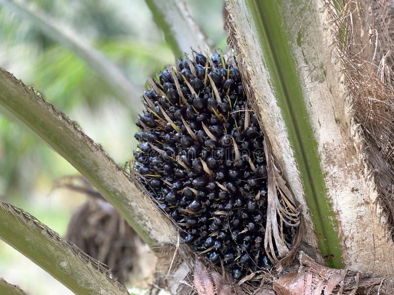 棕榈油 免版税库存图片