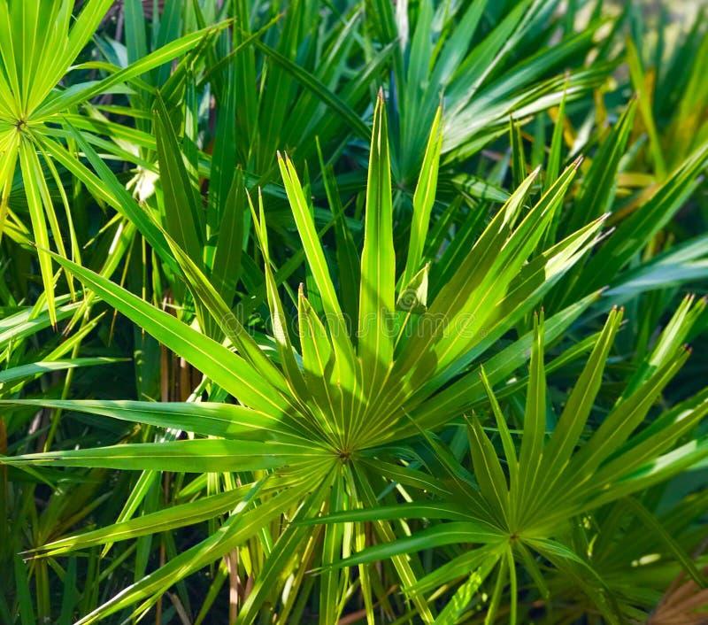 棕榈灌木 库存图片