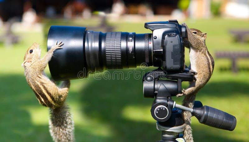 棕榈灰鼠演出了照片写真 免版税库存图片