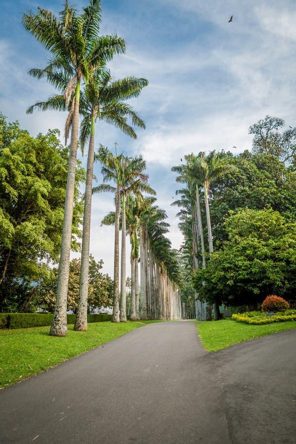 棕榈胡同在康提,斯里兰卡附近的皇家植物园Peradeniya里 免版税图库摄影