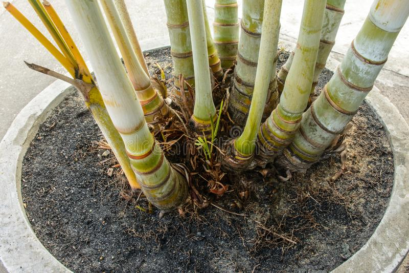 棕榈, ptychosperma macarthurii根特写镜头照片  免版税库存图片