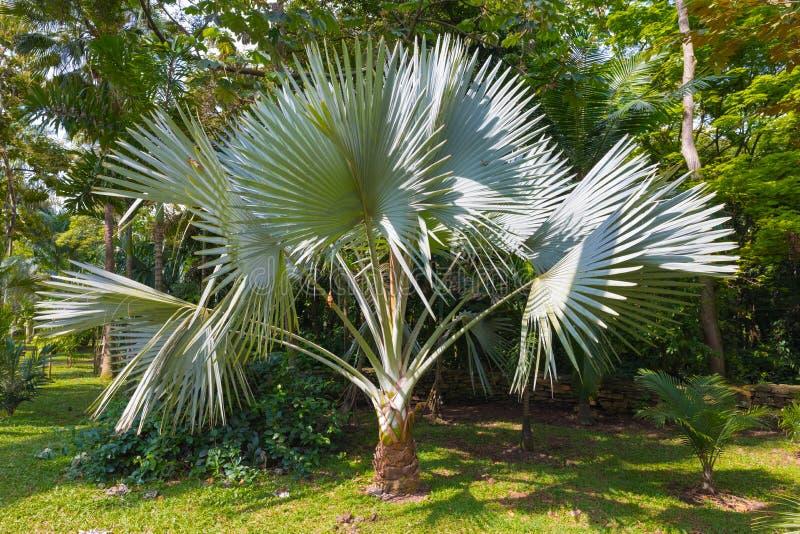 棕榈Trachycarpus Fortunei麦德林 库存图片