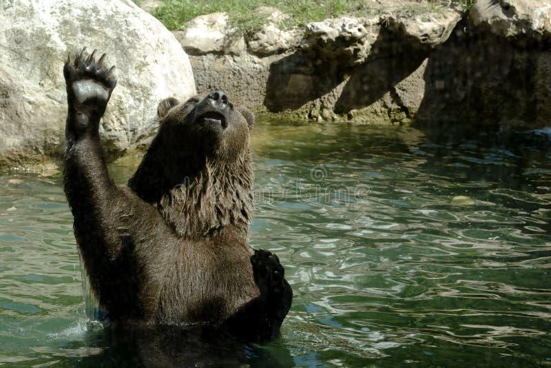 棕熊在提起的水中 免版税图库摄影