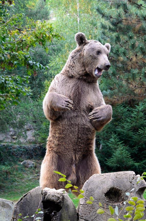 棕熊在森林里 库存图片