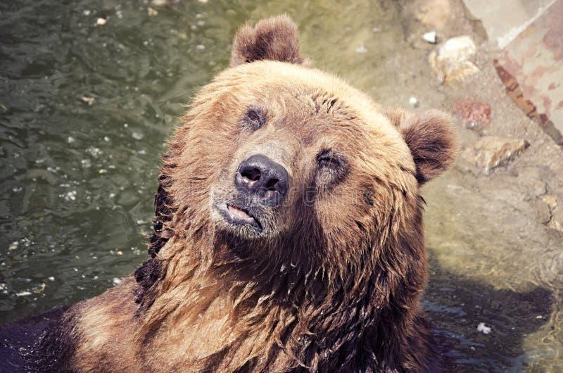 棕熊在水,熊的画象,在囚禁的动物中沐浴 免版税库存图片